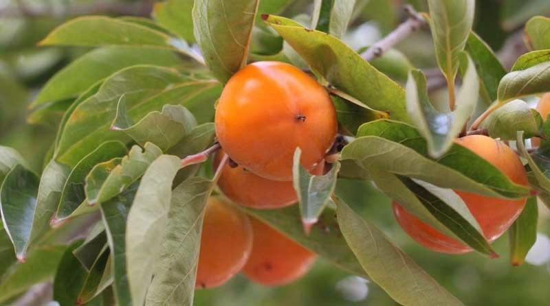 fruta-kaki Kaki: una fruta con muchas virtudes