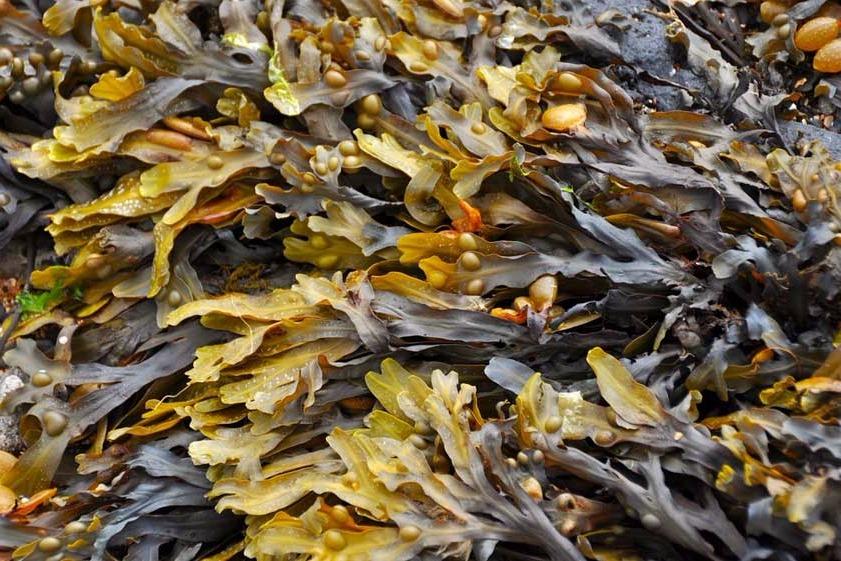las-algas Propiedades de las algas