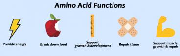 amino-acids-function-1-368x115 Aprende todo sobre los aminoácidos